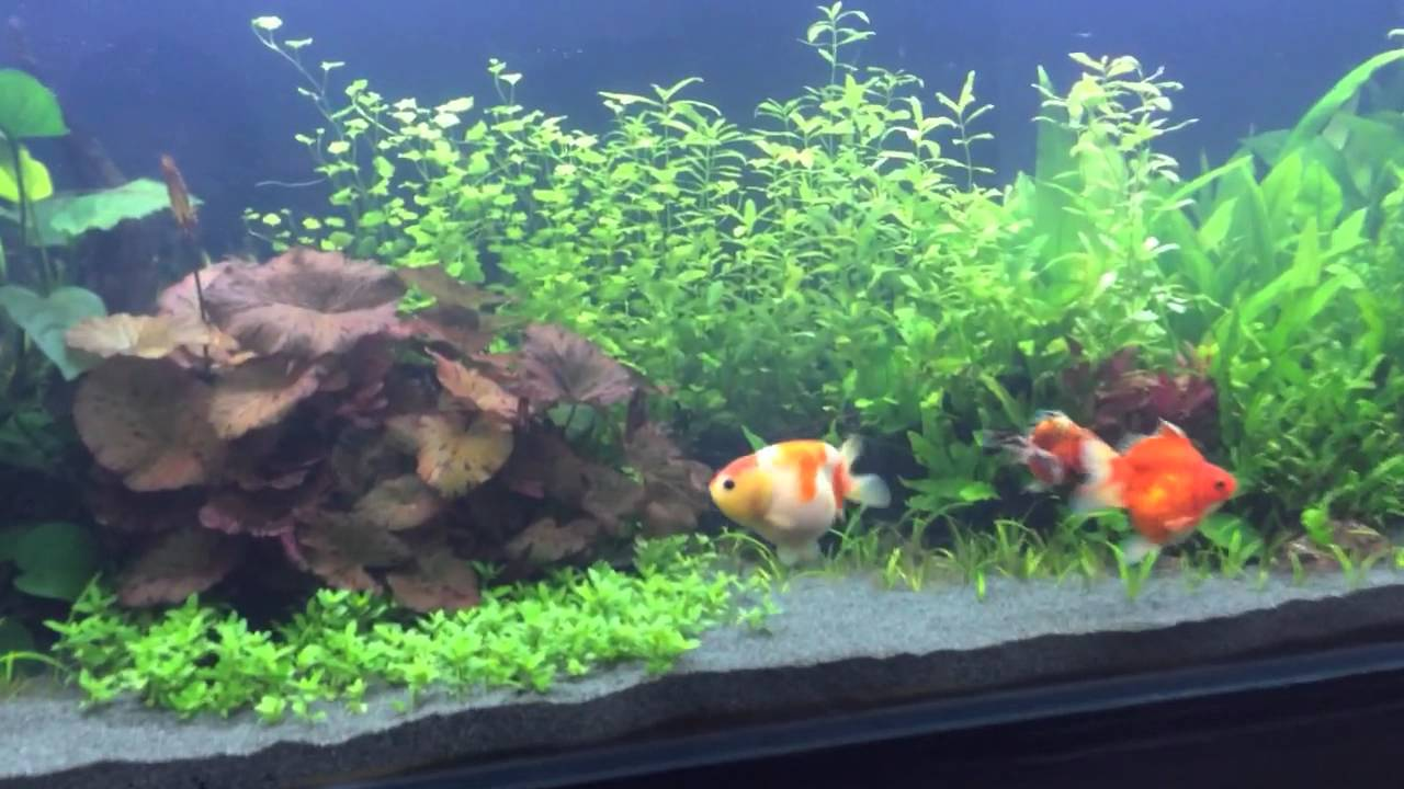 Fancy goldfish in 180 gallon planted fish tank youtube for Fish tank for goldfish
