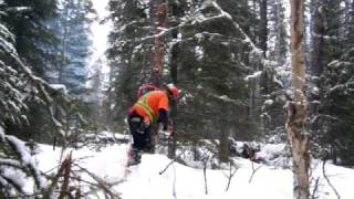 Stihl ms660 pine tree falling, silviculture work