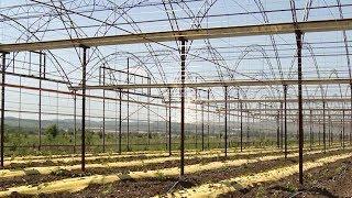 В Новороссийске начали выращивать виноград в теплицах