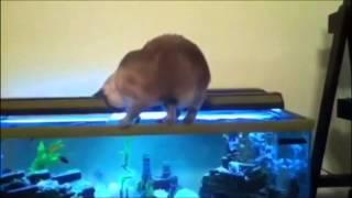 Cat catches a fish in the aquarium - Кошка ловит рыбу в аквариуме