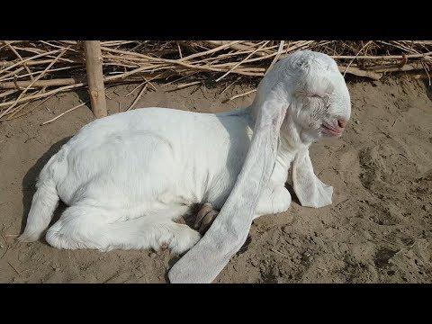 Cute Baby Goat For Sale Demand 500K in Karachi | Bakra Eid Eid ul Adha 2018