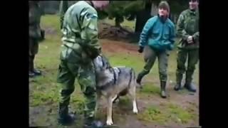 Схватка волка и человека
