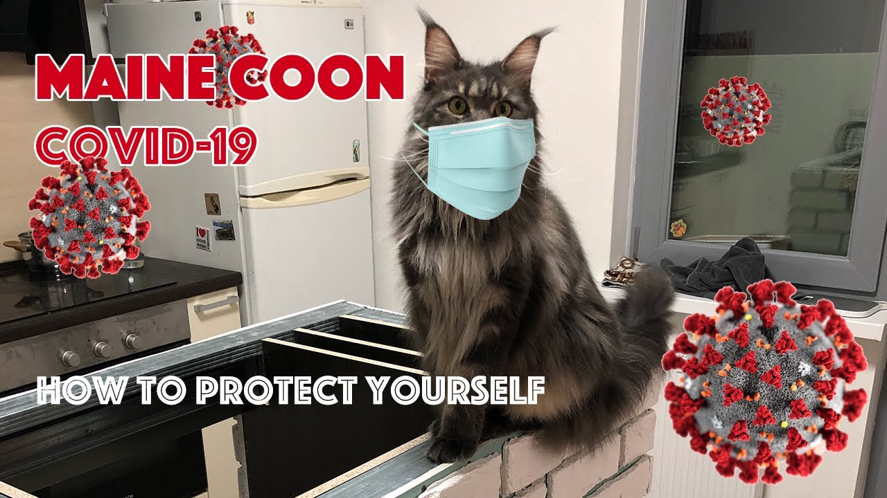 Cat infected with COVID-19 from owner in Belgium