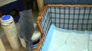 Приколы. Кошки. Британские котята играют с мамой.