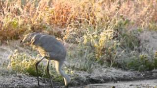 Sandhill Cranes 2..  Minnesota River Valley National Wildlife Refuge 10/7