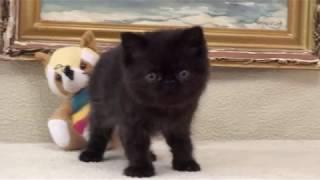 Черный котенок экзот на продажу Black exotic shorthair kitten for sale