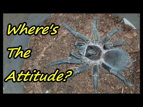 Tarantula Rehouse #8: Phormictopus Atrichomatus, So UNDERRATED!