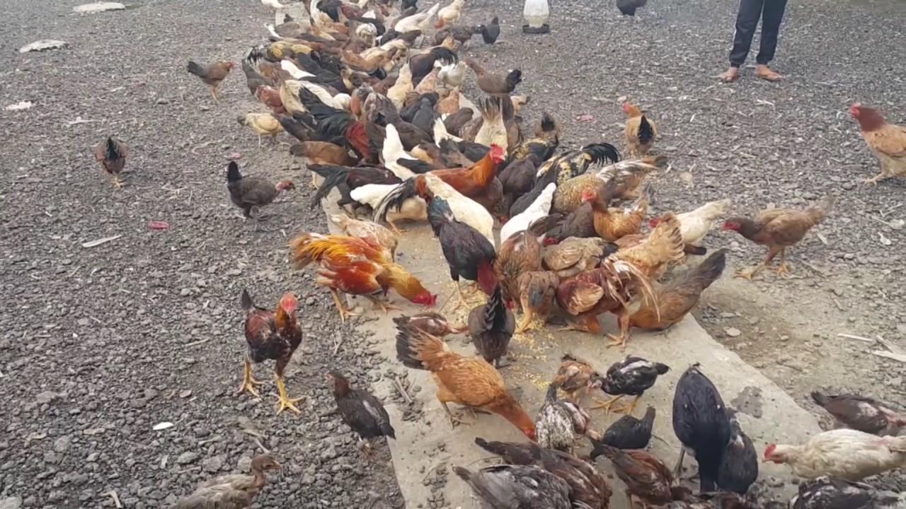 Penternakan Ayam Kampung Asli di Orilui Neutral Farm 74fd7b7489aa