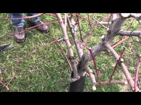 Zimska rezidba u voćnjaku