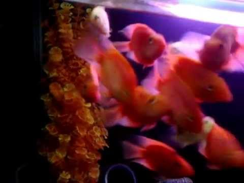 my red blood parrot fish