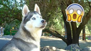 husky-reacts-to-seeing-deer-for-the-first-time-ever-cries