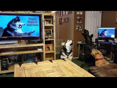 Malamute & Pitbully watch YouTube Dogs ShoutOuts