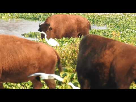 Bison Bellowing