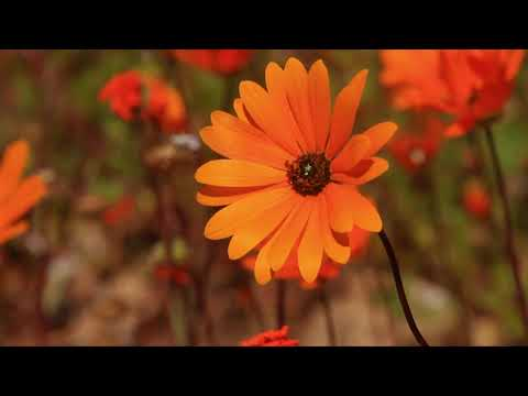 Namaqualand Flowers - Africa's Wild Wonders - The Secrets of Nature