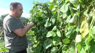 How to Grow Runner Beans - Sowing