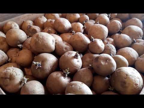 """картошка """"РИВЬЕРА"""" и """"АРИЗОНА"""" .обрываем ростки."""