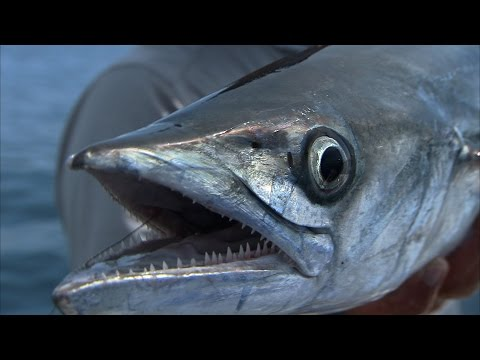 Slow Trolling for Big Kingfish and Amberjack off of Tampa Florida