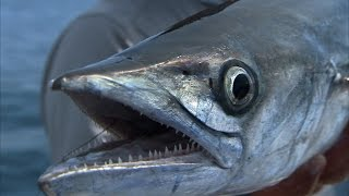 St. Pete Smokers - CRAZY Kingfish and Amberjack