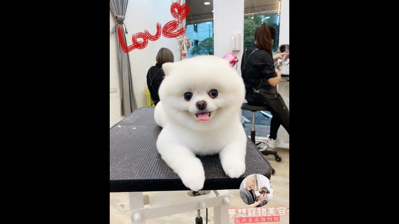 美容後的白博美是這麼可愛  dog grooming | 夢想寵物美容116