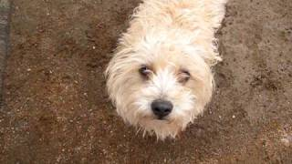 Adopted - Becky The Terrier Looking For Home - Visit: Www.dogsneedhomes.blogspot.com