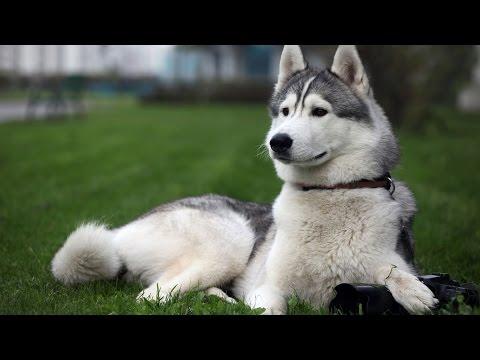Chó Alaska Đẹp Nhưng Có Nên Nuôi?