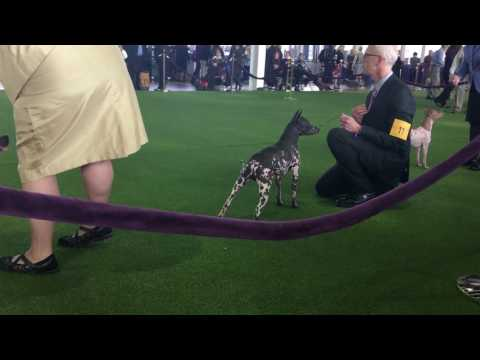 American Hairless Terrier Westminster breed ring debut