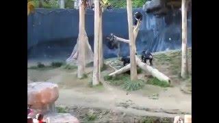 Maymunların Korkunç Sopalı Kavgası