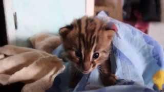 Диких котят воспитывает домашняя кошка