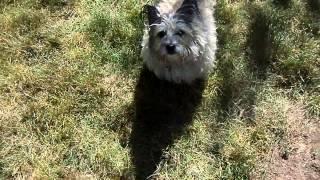 Cairn Terrier Vs. The Hose