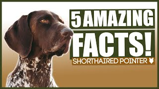 GERMAN SHORTHAIRED POINTER FACTS! 5 Incredible Facts About The Amazing GSP Puppy!