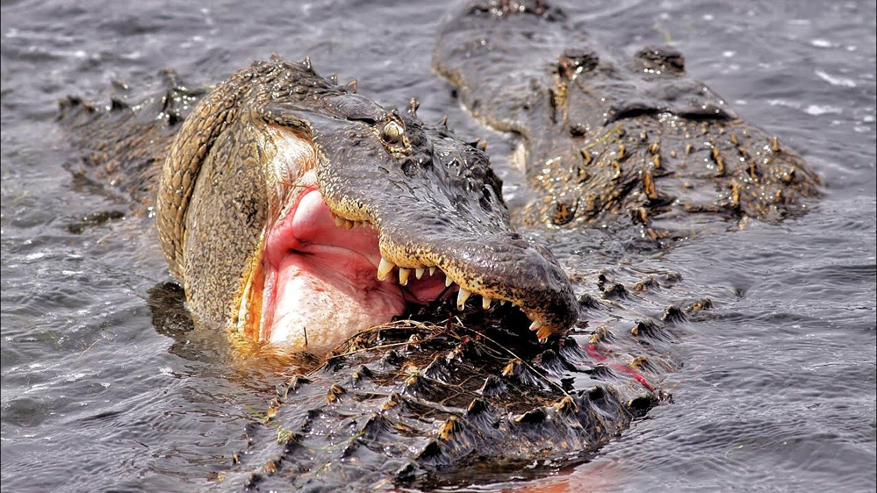 Crocodile vs alligator fight - photo#6