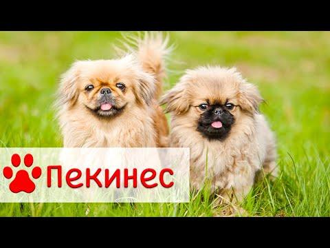 Пекинес | Порода собак Пекинес | Все о породе