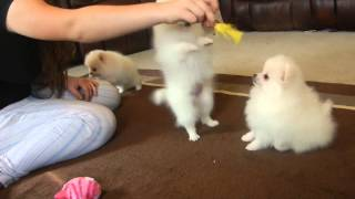 Pure White Color Different Breed Pomeranian Puppies For Sale In Europe