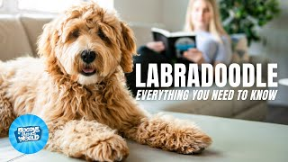 Labradoodle Dog Breed Information  How Unique is Their Personality? | Labradoodle Dogs 101