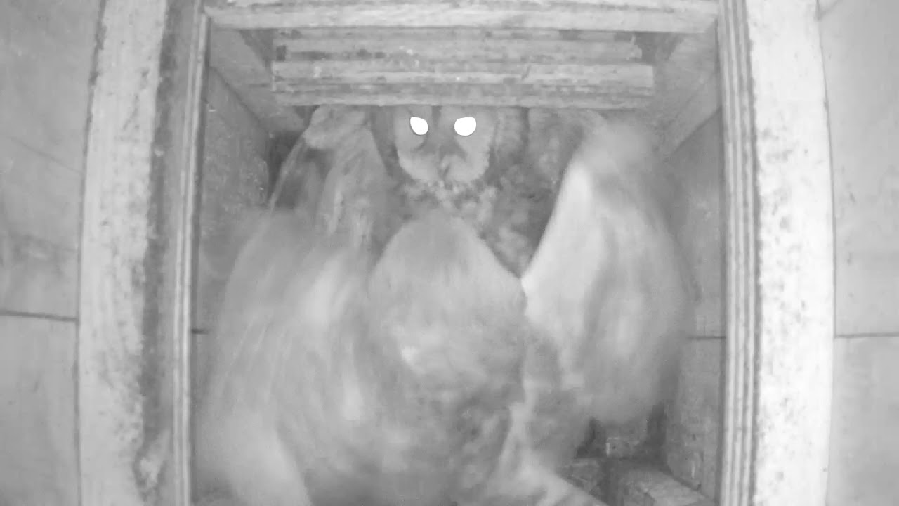 Barn owl and Tawny fighting 11Feb18 - YouTube