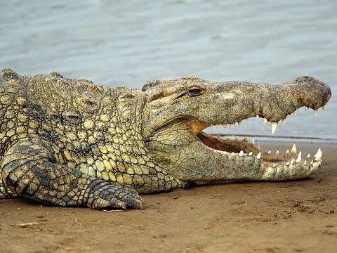 Крокодилы в г. Ростове-на-Дону греются на солнышке (пр. Коммунистический, 50)
