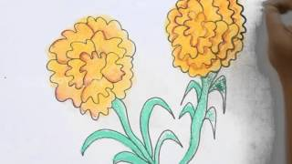 How to Draw Marigold