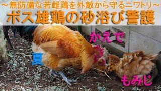 """2018年2月初旬。 この日、庭でボス役を務めるのは雄鶏""""夏""""です。 """"ぴよ..."""