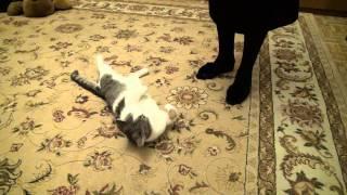 ученый кот Мурзик выполняет команды дубль 2:)(это видео снято в более высоком качестве и не вертикально) обязательно посмотрите до конца!это уникальный..., 2015-03-31T18:33:49.000Z)