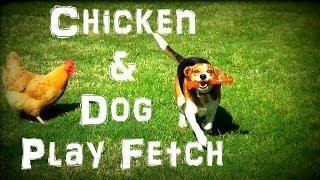 Chicken & Beagle Play Fetch