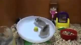 Funny hamsters and reel