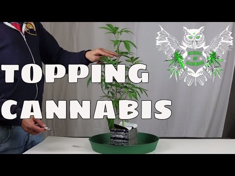 Topping your Cannabis Plants for an Increased Yield | How to top Marijuana