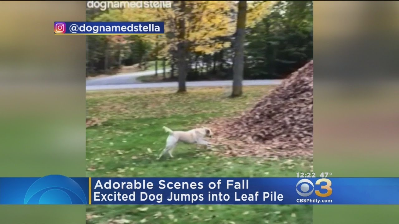 Excited Dog Jumps Into Pile Of Leaves Youtube