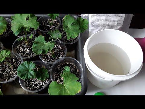 Пеларгония. СРОЧНАЯ подкормка черенков для усиления роста корневой системы.