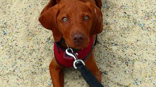 Prince - Hungarian Vizsla Puppy - 2 Week Residential Dog Training At Adolescent Dogs