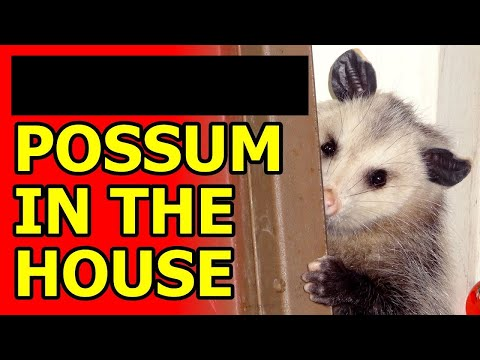 Fucking Possum in the House