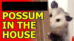 Possum in the House