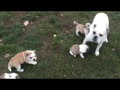 Englische Bulldogge (alternativ) Welpen