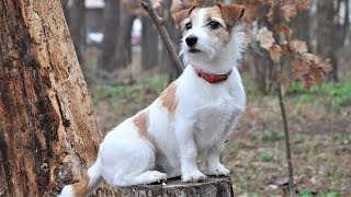 Funny Dancing Dog Jack Russell Terrier. Funny dog training videos