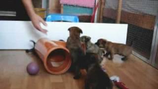 Cairn - Terrier - Welpen Beim Spielen